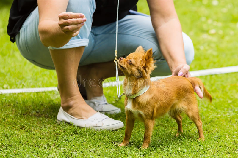 Chihuahua and handler. Fine brown chihuahua with female handler helping to pose royalty free stock images