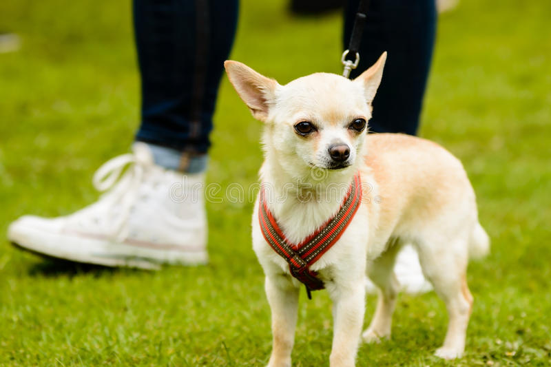 Popular Chihuahua Canine Adorable Dog - chihuahua-harness-green-lawn-human-feet-background-42055705  Image_2661  .jpg