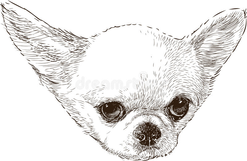 Chihuahua head. Vector drawing of a chihuahua portrait royalty free illustration