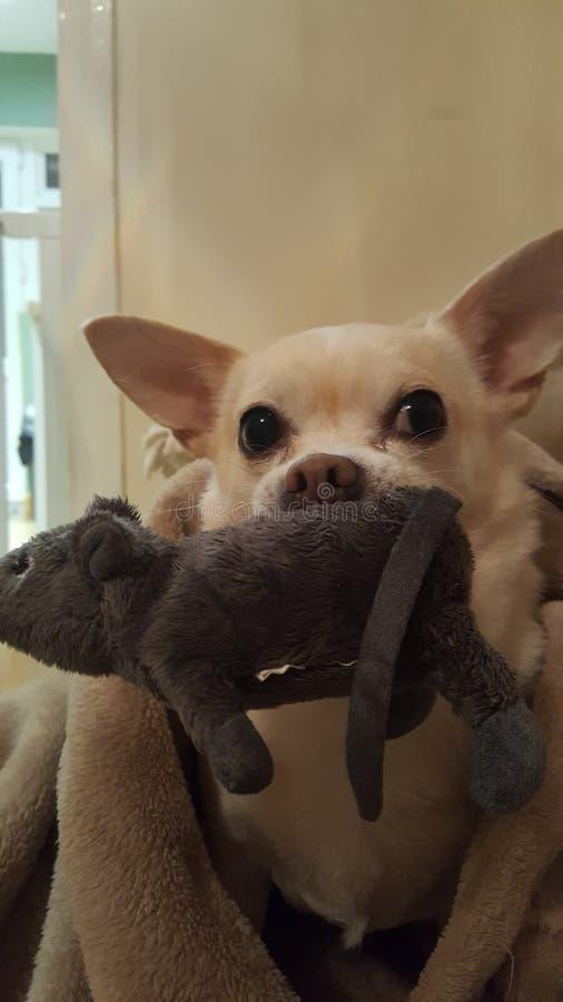 Chihuahua het spelen met stuk speelgoed rat stock afbeeldingen