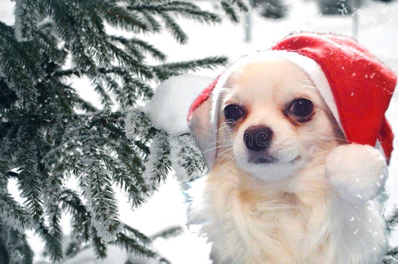 Chihuahua Hund in einem Santa Hut auf dem Hintergrund einer schneebedeckten Tanne in einem Winterschneetag lizenzfreie stockbilder