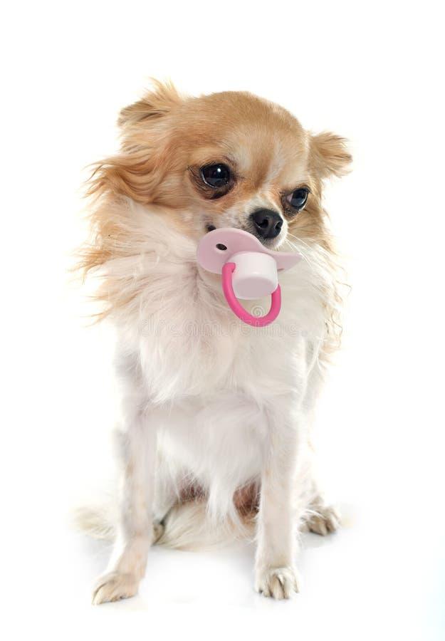 Chihuahua i atrapa obrazy royalty free