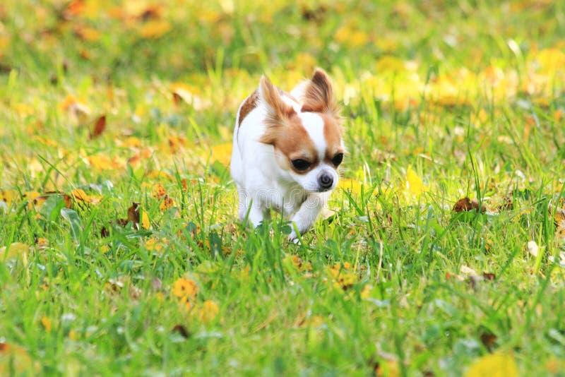 chihuahua i det gröna gräset royaltyfri fotografi