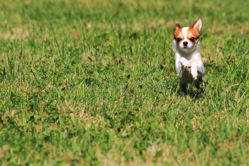chihuahua i det gröna gräset arkivfoton