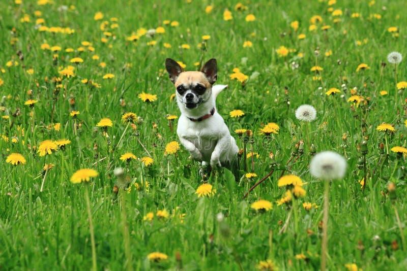 chihuahua i det gröna gräset arkivbild