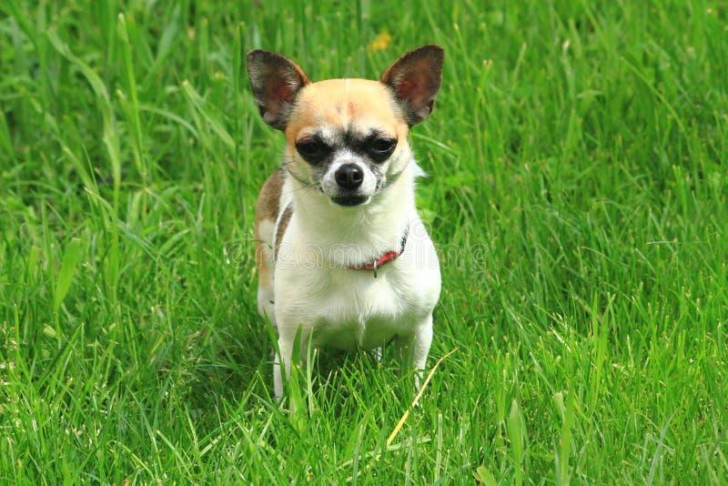 chihuahua i det gröna gräset royaltyfria foton