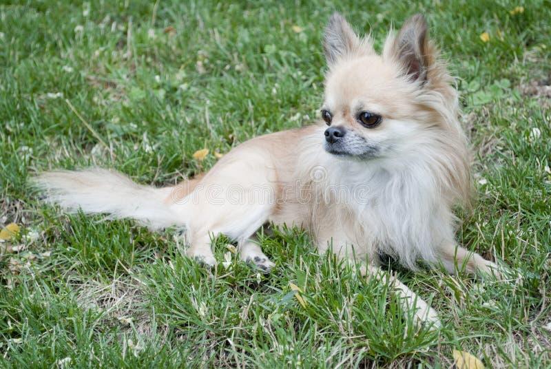 Chihuahua i gräs arkivbilder