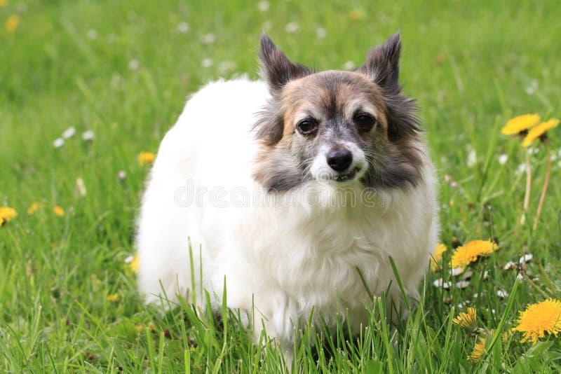 Chihuahua i gräset arkivbilder
