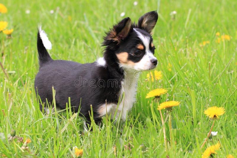 Chihuahua i gräset royaltyfri fotografi