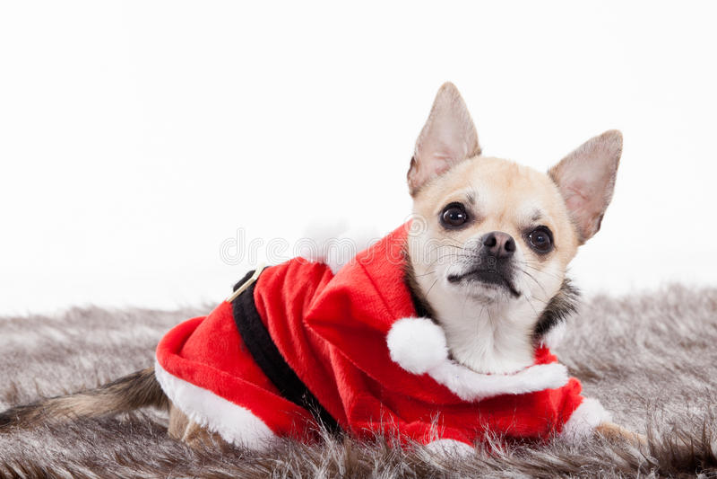 Chihuahua i juldräkt royaltyfri foto