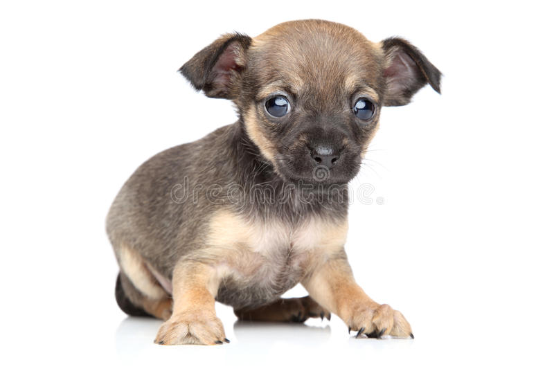 Chihuahua i zabawkarskiego teriera trakenu szczeniak zdjęcie royalty free