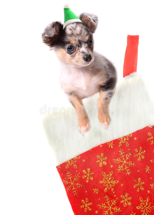 Chihuahua im Weihnachtsstrumpf lizenzfreies stockbild