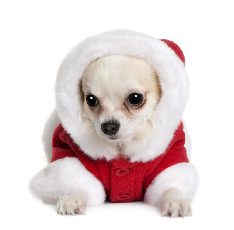 Free Chihuahua In Santa Coat, 7 Months Old Royalty Free Stock Image - 13816366
