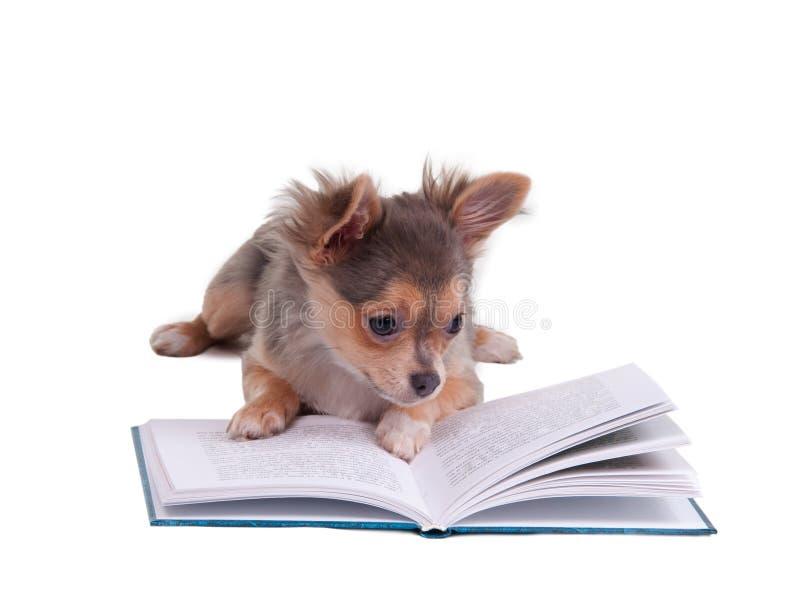 Chihuahua inteligente que lê um livro imagens de stock