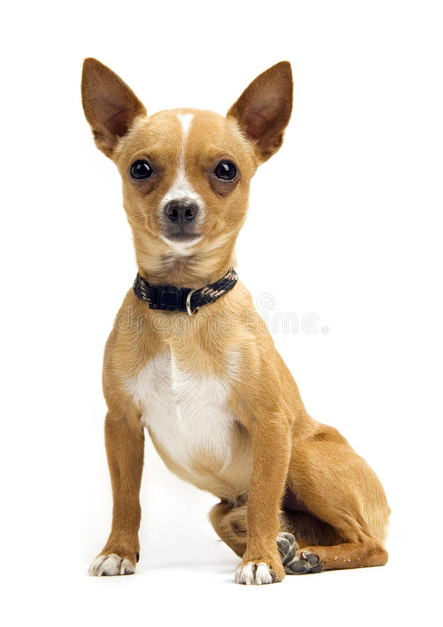 Chihuahua isolada no branco fotos de stock