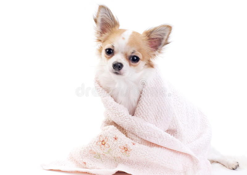 chihuahua isolerad rosa söt handduk arkivfoton