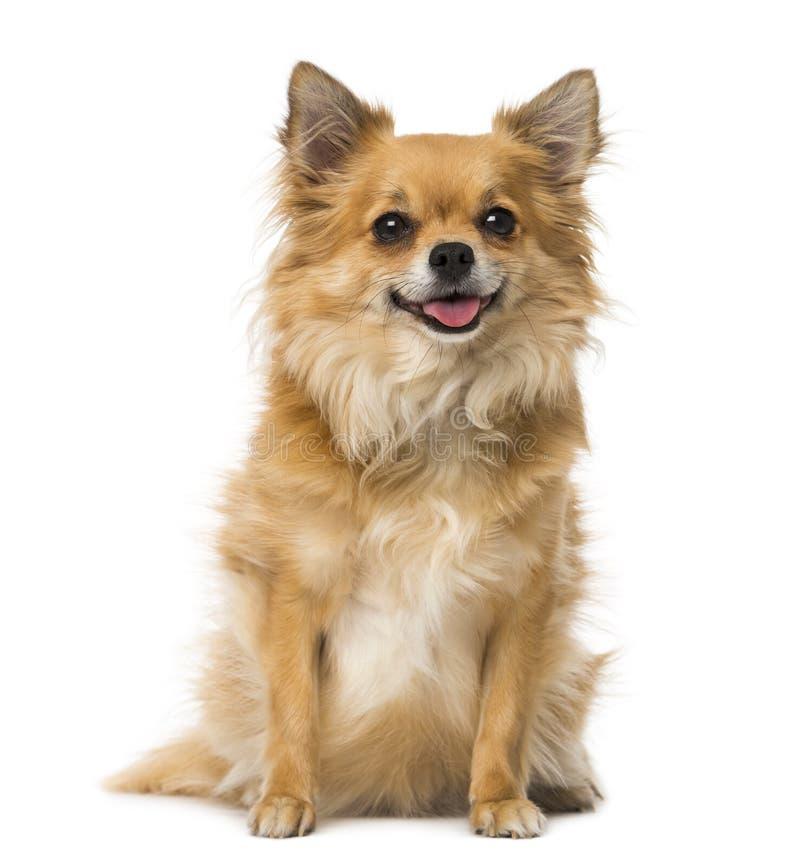 Chihuahua (3 jaar oud) stock foto
