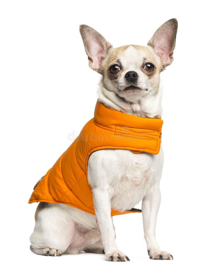 Chihuahua (2 jaar oud die) en een oranje laag zitten dragen stock foto's