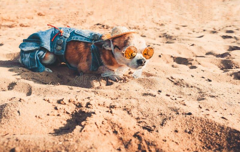 Chihuahua jest ubranym okulary przeciwsłonecznych i słomianego kapelusz kłama na plaży rzeką cieszy się słońce Modny pies ubieraj zdjęcia royalty free