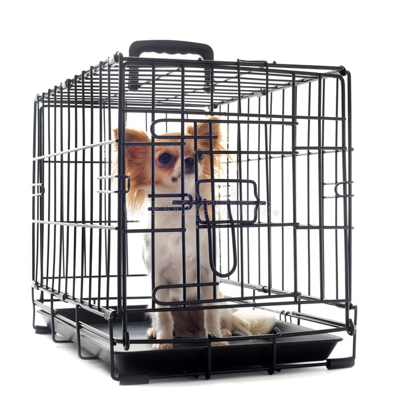 Chihuahua in kennel royalty free stock image