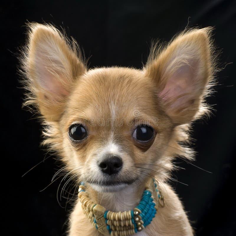 chihuahua kolii portreta szczeniaka czerwień fotografia royalty free