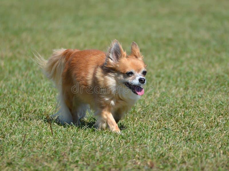 Chihuahua larga de la capa imagenes de archivo
