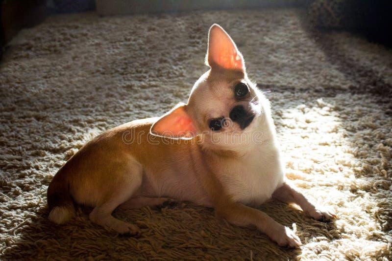 Chihuahua ligt op tapijt in zonnige dag royalty-vrije stock afbeeldingen
