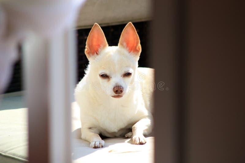 Chihuahua linda fotos de archivo