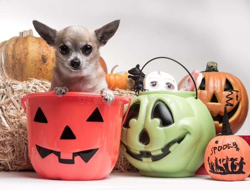Chihuahua linda con las calabazas y el caramelo de Víspera de Todos los Santos imagenes de archivo