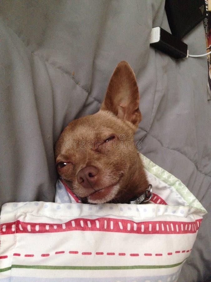 Chihuahua linda de Brown que se relaja foto de archivo