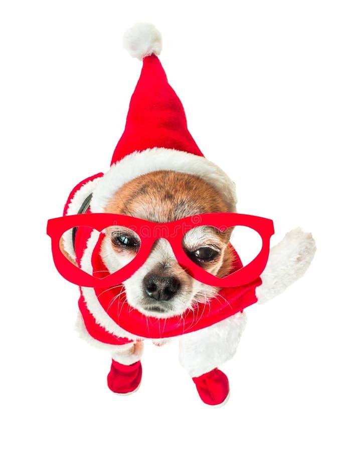Chihuahua linda del perro en el traje de Papá Noel con los vidrios rojos en los ojos en fondo blanco aislado Año Nuevo chino 2018 imagen de archivo