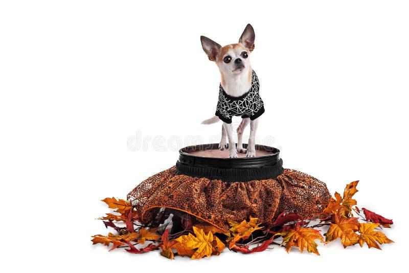 Chihuahua linda que se coloca en barril con la falda y la camiseta del web de araña aisladas en blanco foto de archivo libre de regalías