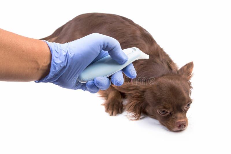Chihuahua linda que tiene examen médico del veterinario foto de archivo libre de regalías