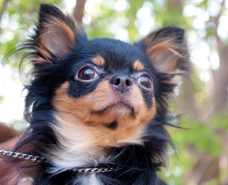 Chihuahua longa do cabelo fotografia de stock royalty free