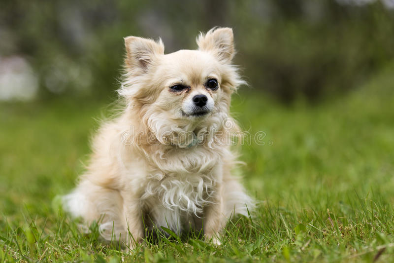 Chihuahua don on green grass stock photos