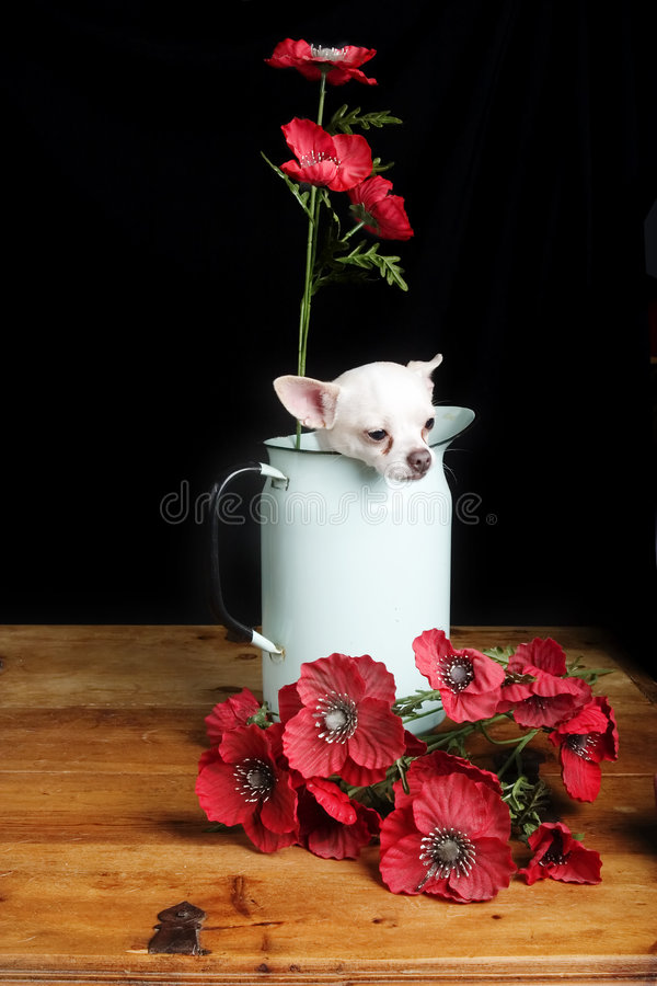 Chihuahua Love. A chihuahua posing with some flowers royalty free stock photo