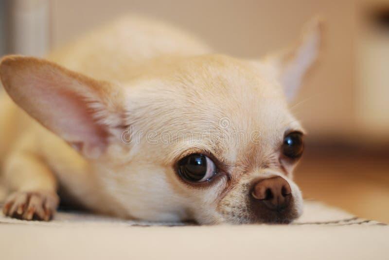 Chihuahua Lying On White Textile Free Public Domain Cc0 Image
