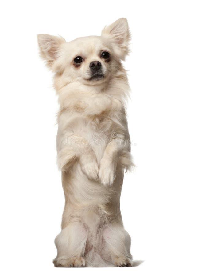Chihuahua, 18 maanden oud royalty-vrije stock afbeelding