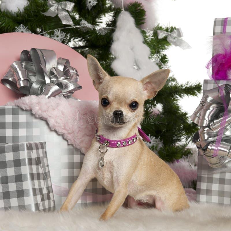 Chihuahua, 8 maanden oud stock afbeeldingen