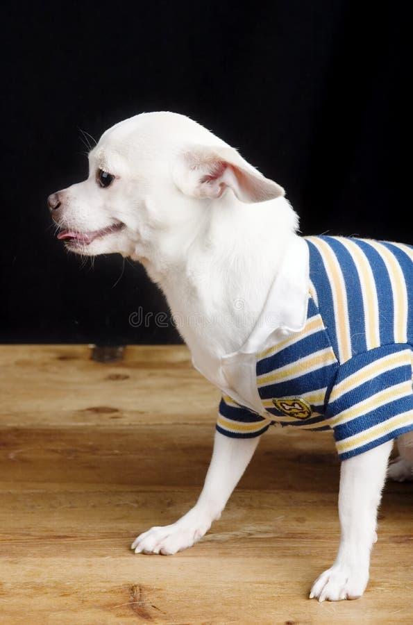 Chihuahua masculina en camisa fotos de archivo