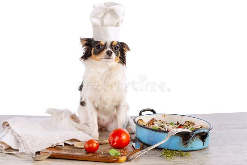 Chihuahua med kock arkivbilder