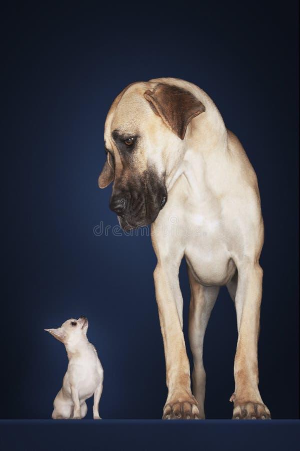 Chihuahua med stora Dane Standing Alongside royaltyfri foto