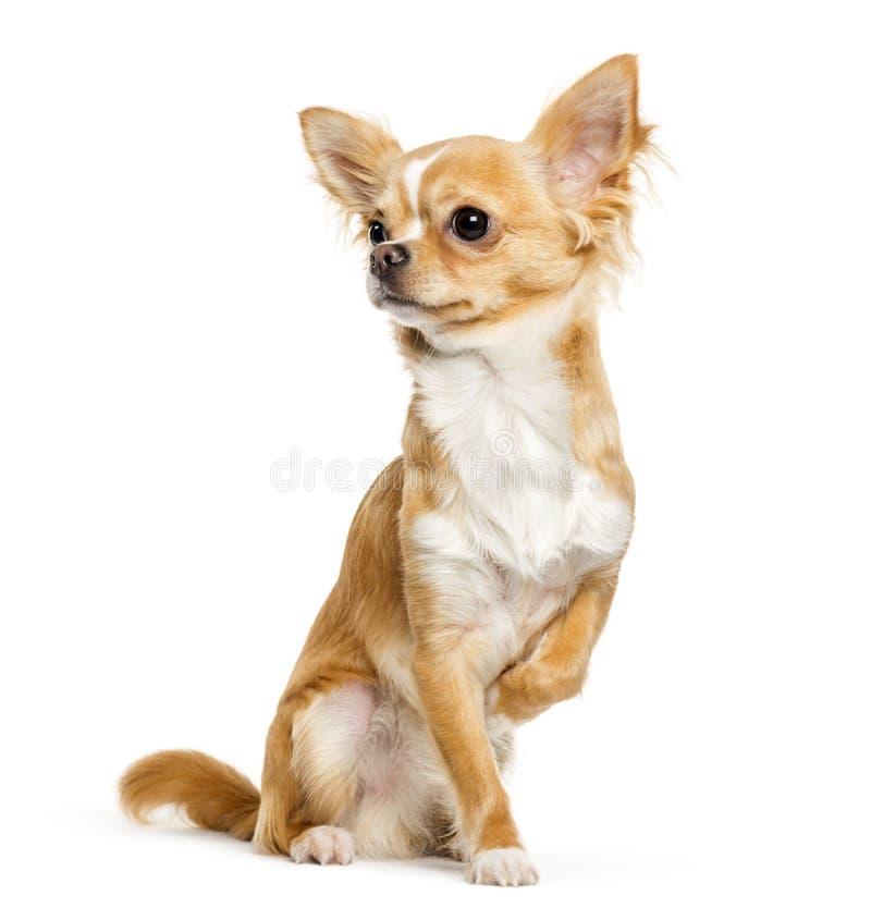 Chihuahua, 9 meses, sentándose delante del fondo blanco fotos de archivo