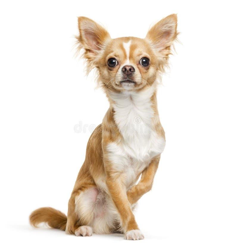 Chihuahua, 9 meses, sentándose delante del fondo blanco imágenes de archivo libres de regalías