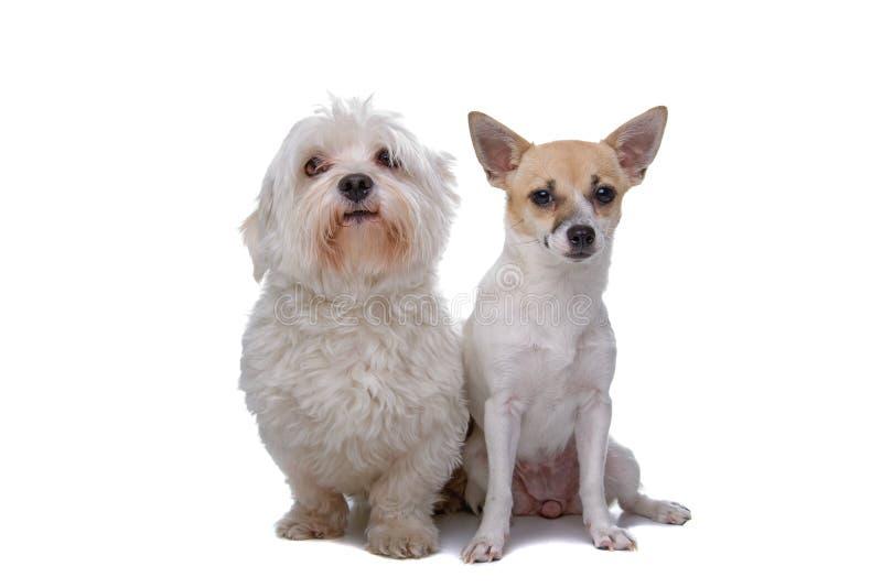 Chihuahua mezclada de la casta y un perro maltés fotos de archivo