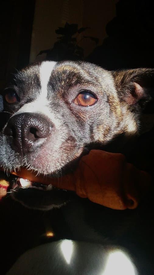 Chihuahua miłość obrazy royalty free