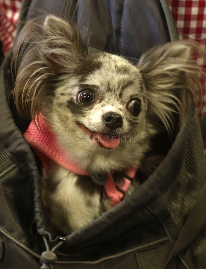 Chihuahua mieszanka w kieszonce z jęzorem out obrazy royalty free