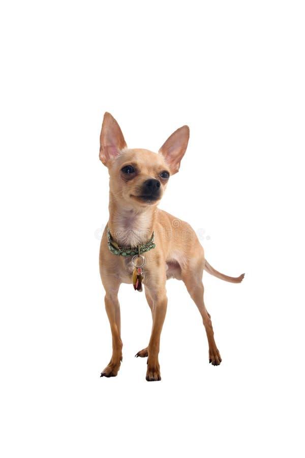 Chihuahua mit Ausschnittspfad lizenzfreie stockfotografie
