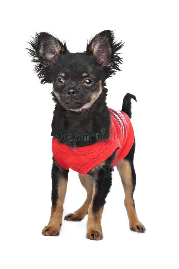 Chihuahua mit rotem Hemd stockfoto