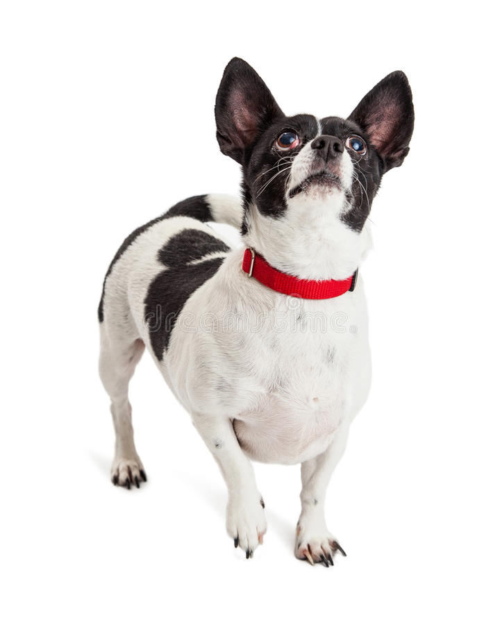 Chihuahua Mix Dog Looking Up Red Collar royalty free stock images